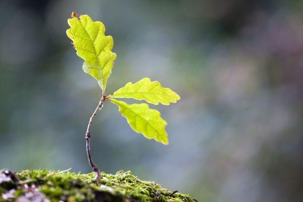 Tammepuu istik
